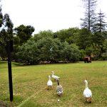 Los gansos de Auckland Wintergardens