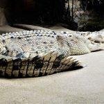 Australia Sydney Wild Life Zoo Rocky the Croc